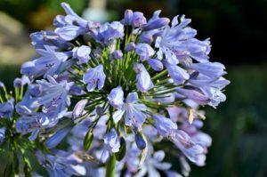 彼岸花のピンク・青・黒の名前は?画像や花言葉、販売先など紹介